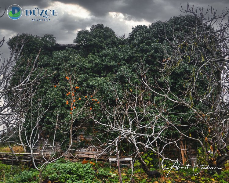 Düzce Akçakoca Sarmaşık Eski Ağaç Ev